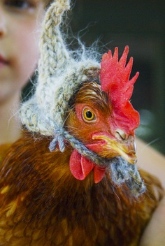Funny Chicken In A Knitted Hat Funny Myniceprofile Com